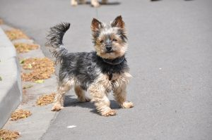 Фото маленької собачки породи йоркі