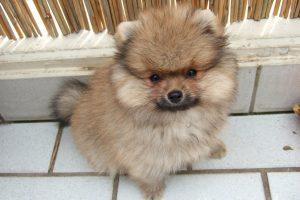 Фото собаки породи померанський шпіц