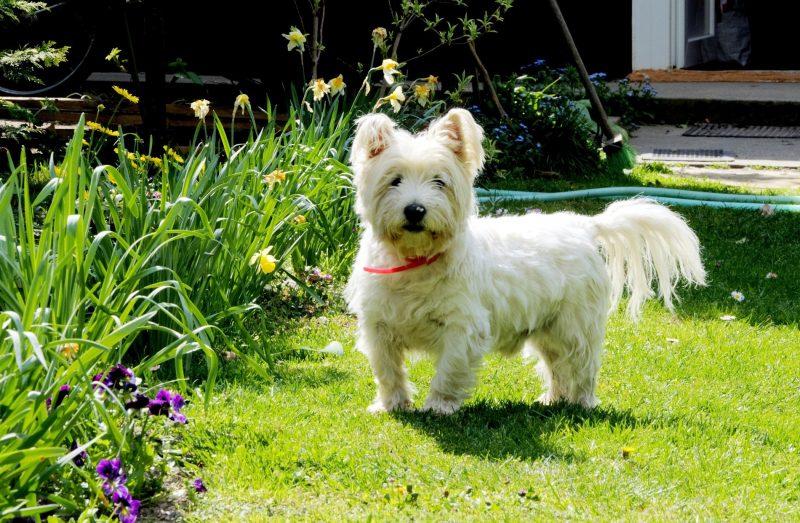 Маленькі собаки - Вест-хайленд-вайт-тер'єр