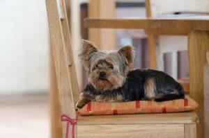 Маленькі собаки - фото йоркшир-тер'єра