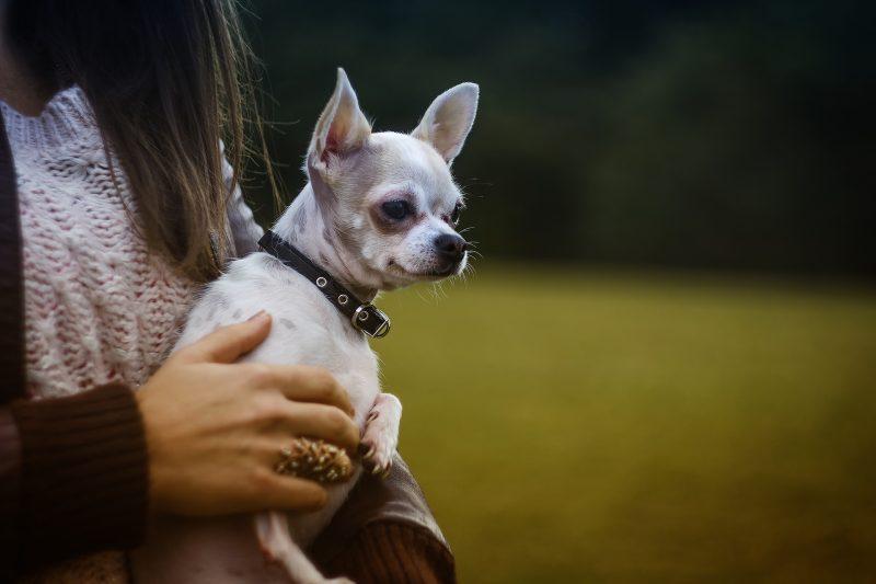 Маленькі собаки - фото породи чихуахуа