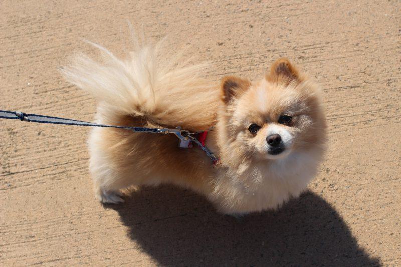 Маленькі собаки - фото породи померанський шпіц