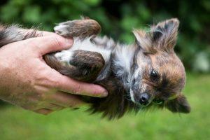 Маленькі собаки - порода чихуахуа