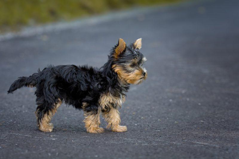 Маленькі собаки - порода йоркширський тер'єр