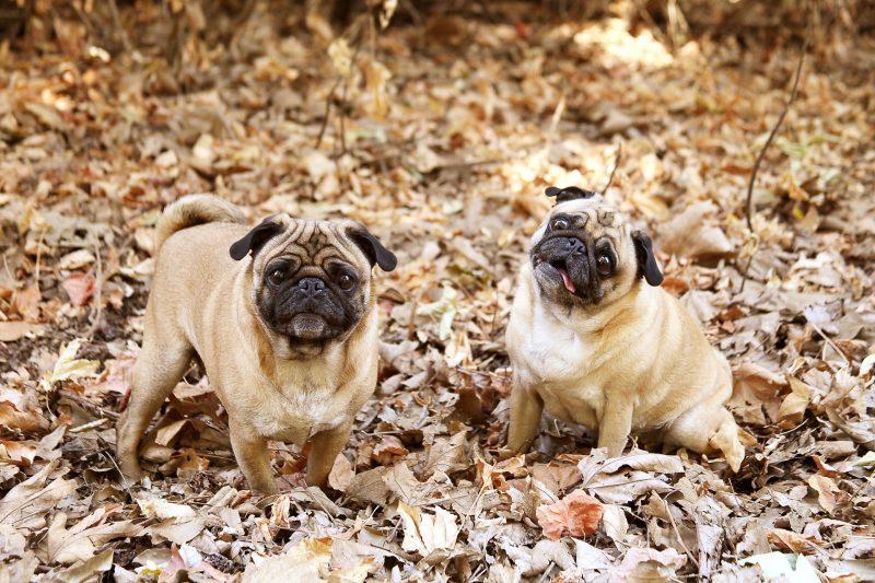 Маленькі собаки породи Мопс