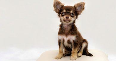 Маленькі собаки: топ-20 порід з фотографіями