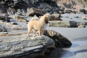 Померанський шпіц - маленька порода собак