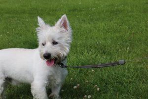 Породи собак для квартири - Вест-хайленд-вайт-тер'єр