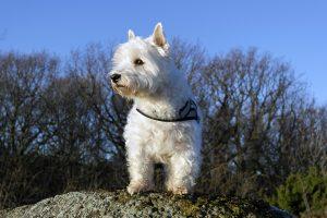 Вест-хайленд-вайт-тер'єр - білі маленькі собаки