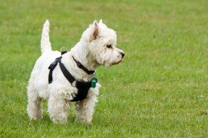Вест-хайленд-вайт-тер'єр - порода маленьких собак