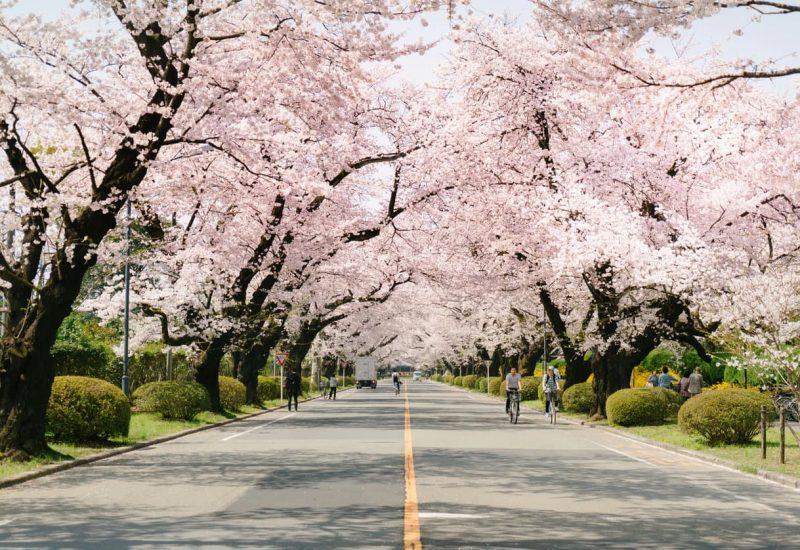 Цікаві факти про Японію - цвітіння сакури